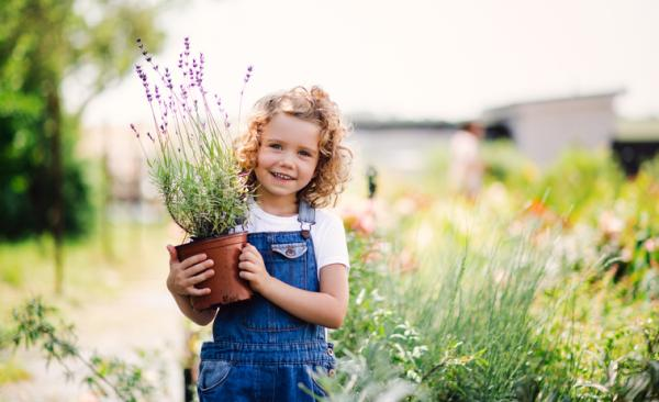 Aromatic indoor plants - Lavender