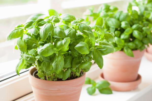 Indoor and outdoor anti-fly plants - Basil