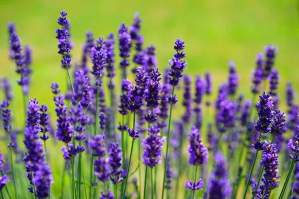 Indoor and Outdoor Fly Plants - Lavender