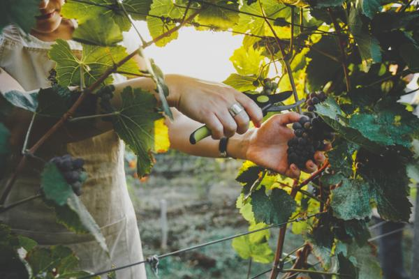 Prune a vine: how to do it and when - When are the grapes harvested