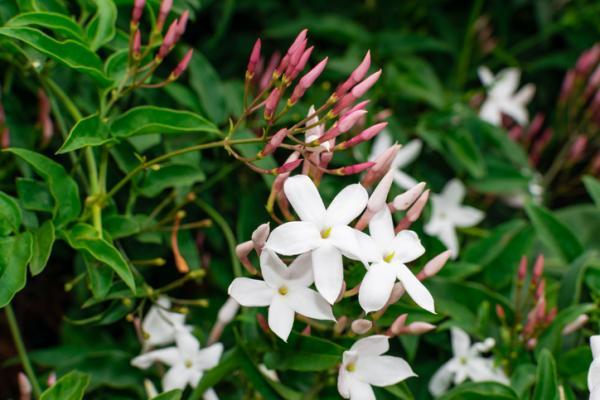 Chinese jasmine care - Characteristics of Chinese jasmine