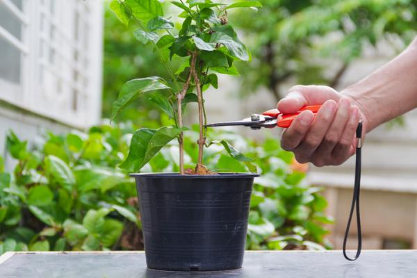 Chinese jasmine care - How to reproduce Chinese jasmine