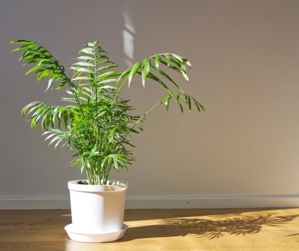 Indoor palm trees: names, characteristics, care and photos - Chamaedorea elegans or camadorea