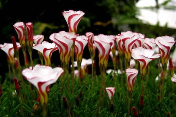 Names of the most exotic flowers in the world - Candy Cane
