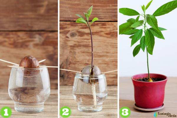 How To Plant An Avocado - How To Plant An Avocado From The Pit