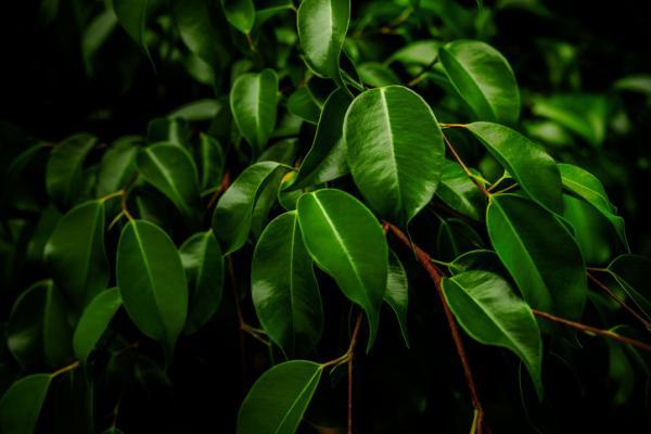 +25 indoor plants that need little light - Ficus benjamina