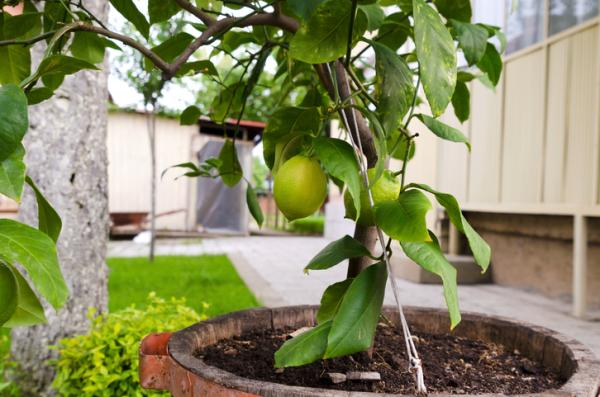22 Fast Growing Plants - Fast Growing Fruit Trees