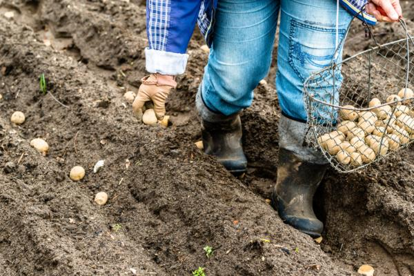 How To Plant Potatoes - When To Harvest Potatoes Or Potatoes