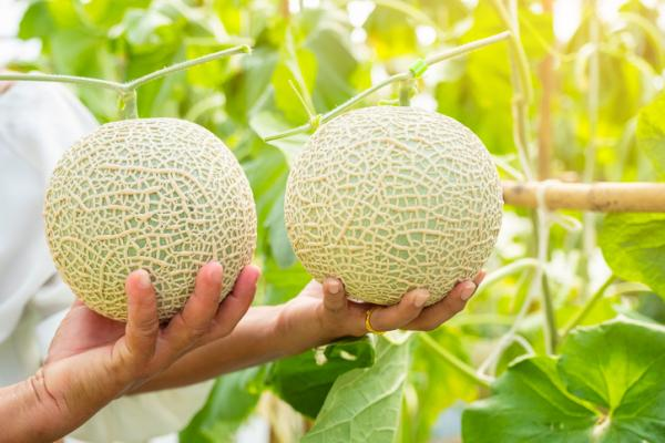 8 types of melons - Arus or Japanese melon