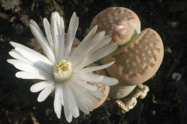 Stone cactus or lithops: care - Characteristics of stone cactus or lithops