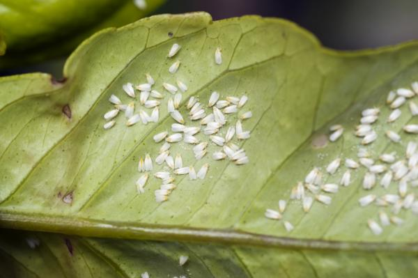 Biological pest control: what is it, advantages, disadvantages and examples - Examples of biological pest control