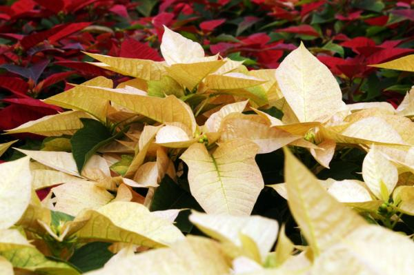 How to make the poinsettia red - why my poinsettia doesn't grow red leaves