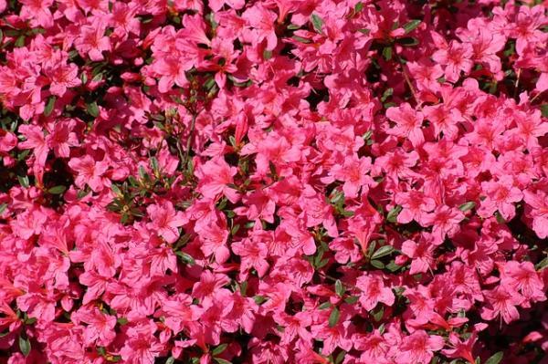 21 Flowering Shrubs - Other Flowering Shrubs