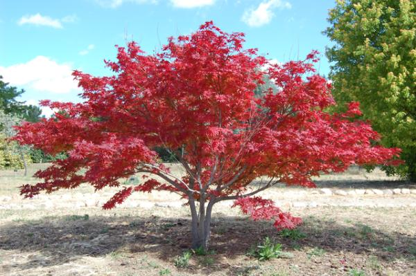 Acidophilic plants: what they are, examples and care - Acer palmatum or Japanese maple