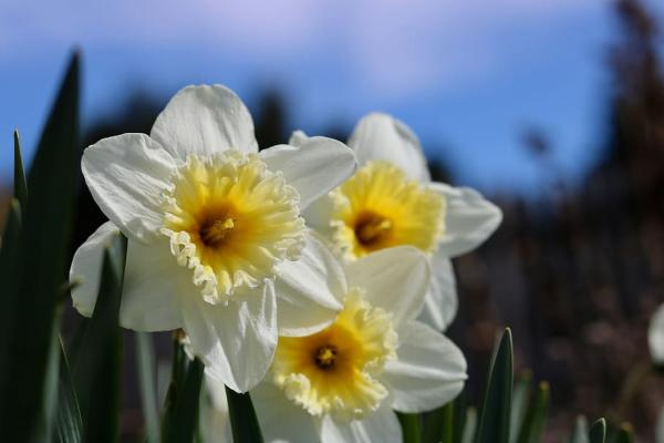 Planting daffodils: how and when to do it - How to plant potted daffodils - step by step