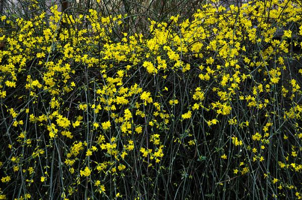 9 types of jasmine - Jasminum nudiflorum or yellow jasmine