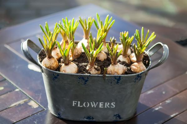 Hyacinth Care - When to Plant Hyacinths
