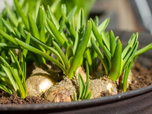 How to Plant Garlic - When to Plant Garlic
