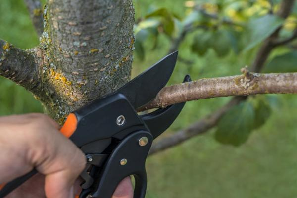 Prune almond trees: when and how to do it - How to prune almond trees step by step