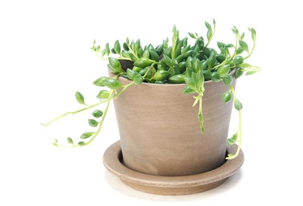 Rosary plant: care - Watering the rosary plant
