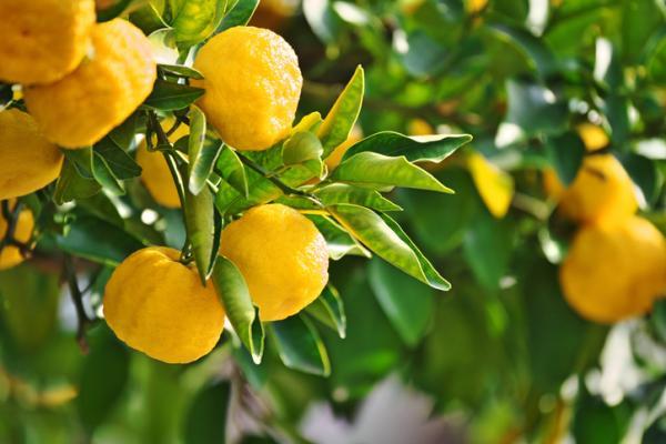 Types of lemon trees - Yuzu