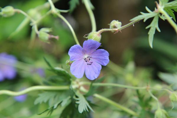 23 types of geraniums - Geranium pusillum L.