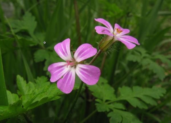 23 types of geraniums - Geranium robertianum L.