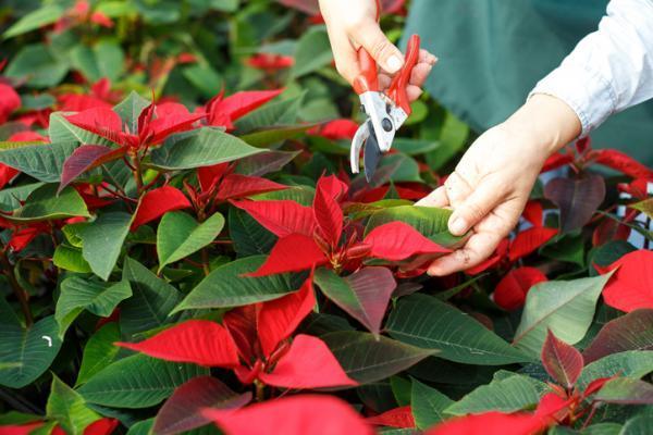 Prune the poinsettia: when and how to do it - How to prune the poinsettia or Christmas plant
