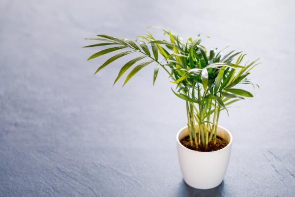 Chamaedorea Care - Hall Palm Propagation