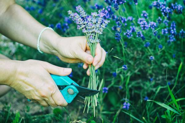 Breed Lavender: When and How to Do It - How to Breed Lavender - Step by Step