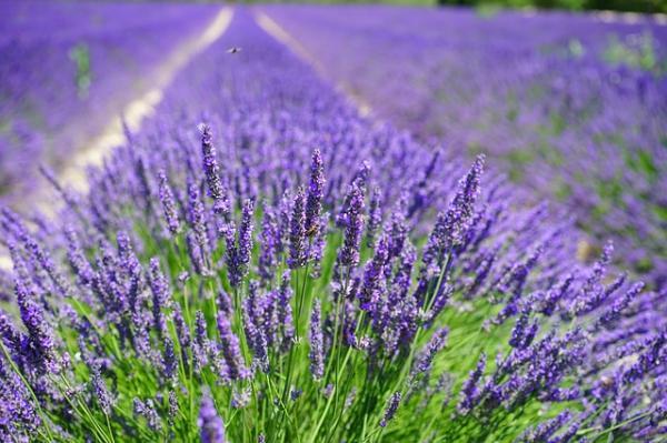 12 types of lavender - Lavanda officinalis or common lavender