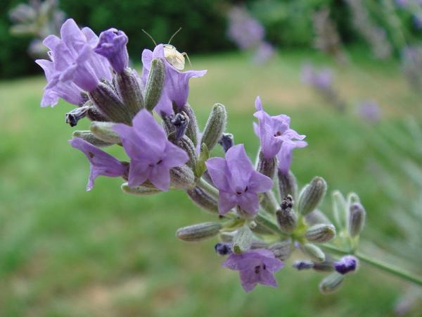 12 types of lavender - Lavandula Hybrida
