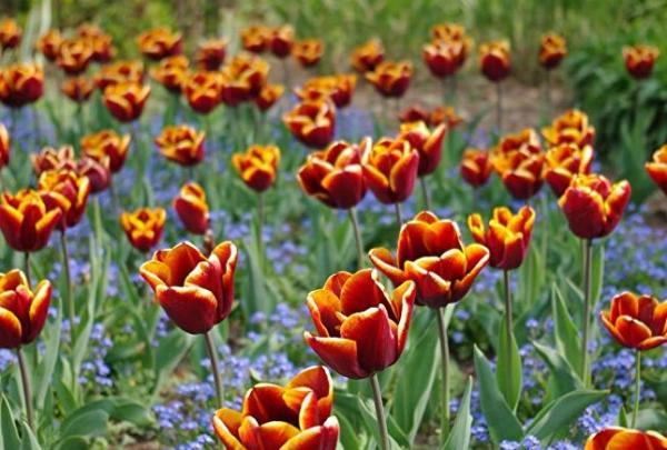 Types of tulips - Tulip Abu Hassan