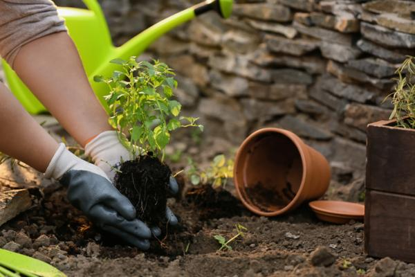 How to Plant Mint - How to Plant Mint in Dirt or Soil