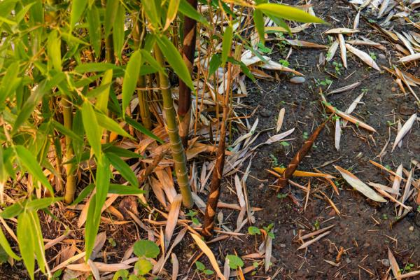 How to care for a bamboo - How to care for a bamboo when it turns yellow