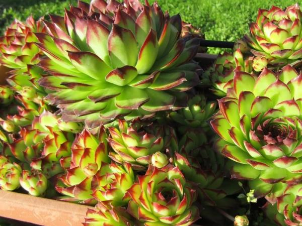 Colored Succulents: How To Grow Them - How Colored Succulents Are Made