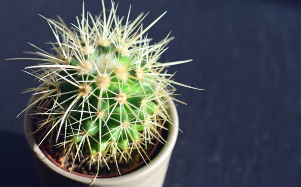 How to reproduce cacti by cuttings - Basic care for cactus cuttings and suckers