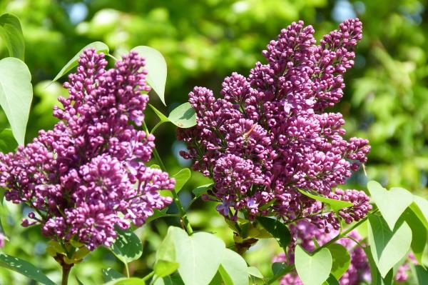 Small trees: names, characteristics and photos - Syringa vulgaris