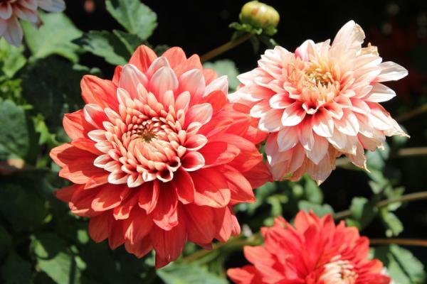 Outdoor potted plants - Dahlia