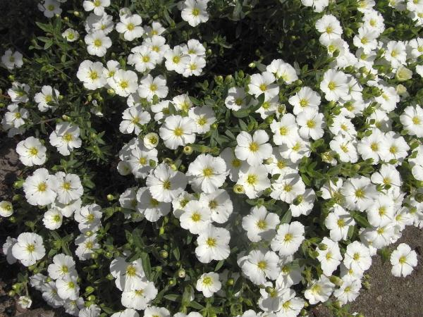 Wild flowers: names and photos - Arenaria montana or arenaria