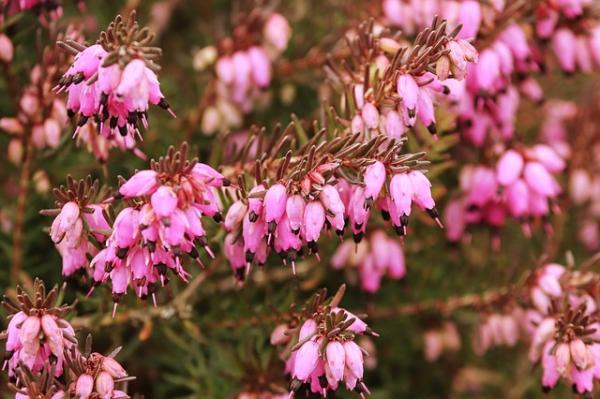 Wildflowers: Names and Photos - Erica erigena or Irish Heath