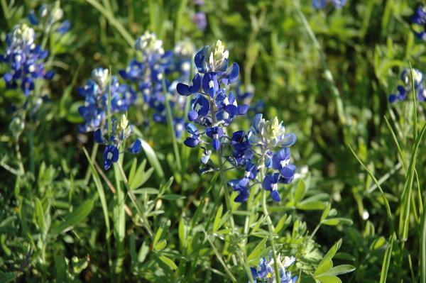 Wild flowers: names and photos - Lupinus hispanicus or alberjón