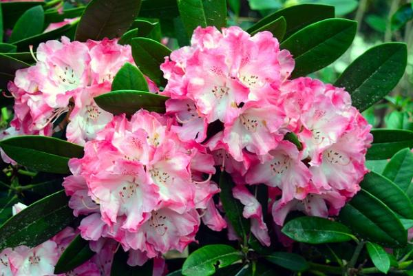 Wildflowers: names and photos - Rhododendron or rhododendron