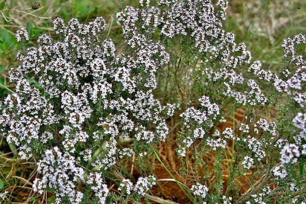 Wild flowers: names and photos - Thymus vulgaris or thyme