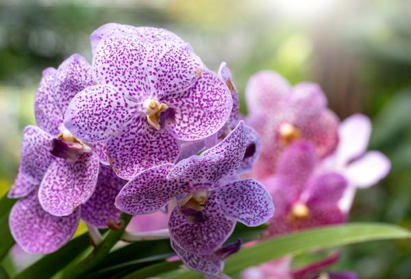12 types of orchids - Phalaenopsis Orchid