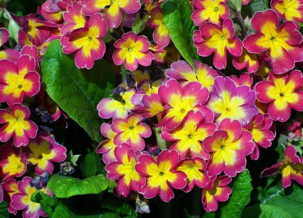 Primrose care - Watering the primroses