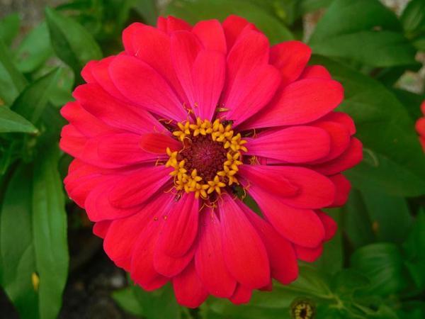 Types of daisies - Zinia or mystic rose (Zinnia elegans)