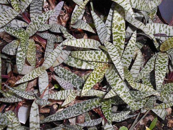 Plants with colored leaves - Ledebouria socialis or scilia