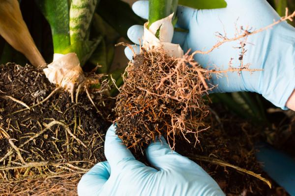 Uses of hydrogen peroxide in the garden - Hydrogen peroxide for plant roots
