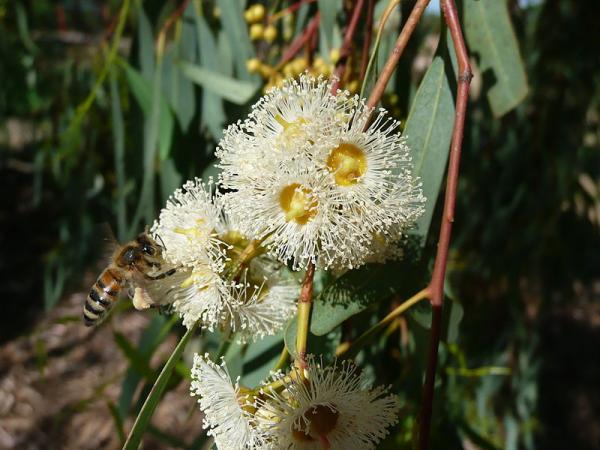 Types of Eucalyptus - Eucalyptus camaldulensis